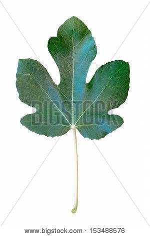 Green fig leaf isolated on white background; vertical