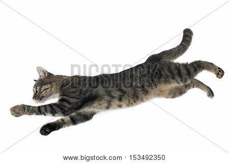 cat in a jump on a white background
