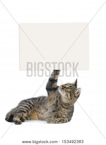 beautiful European cat lying on a white background with an advertizing leaf