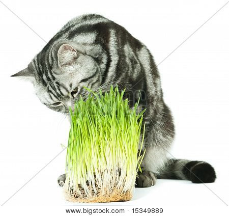 Cat analyzing green grass
