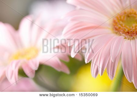 Closeup of two pink daisy-gerbera. Shallow DOF