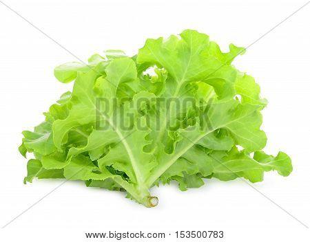 Green oak lettuce on the white background