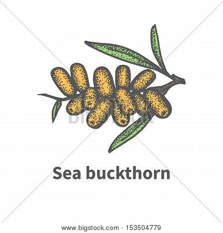 Vector illustration doodle sketch hand-drawn bunch of ripened juicy sea buckthorn. Isolated on white background. The concept of harvesting. Vintage retro style. Yellow berry with green leaves.