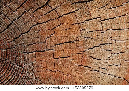 Close-up annual rings, tree trunk cross section