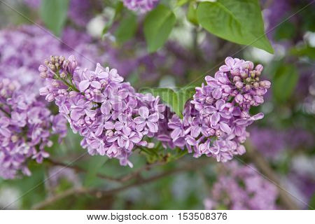 The branch of blooming lilacs, nature, green leaves