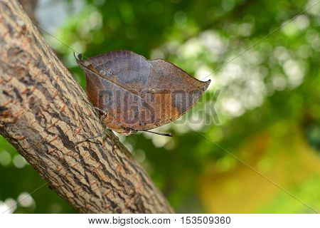 Orange oakleaf butterfly with oak leaf camouflage adaptation, known scientifically as Kallima inachus