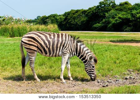 African plains zebra on green savannah grasslands.