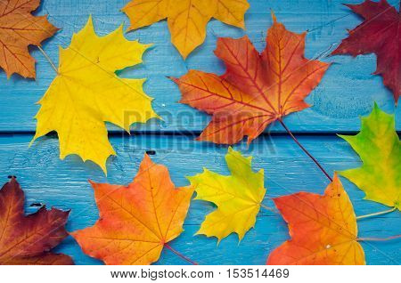 Autumn background with colorful fall maple leaves on blue rustic wooden table. Thanksgiving autumn holidays background concept. Yellow and orange autumn leaves. Top view.