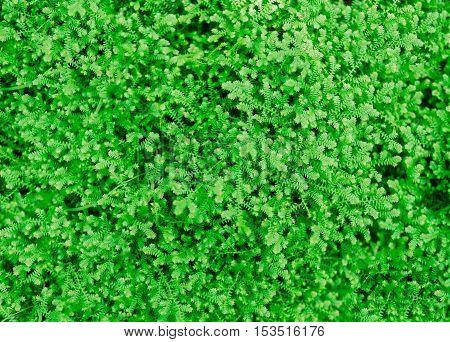 great green bush of fern in the forest. fern background green fern