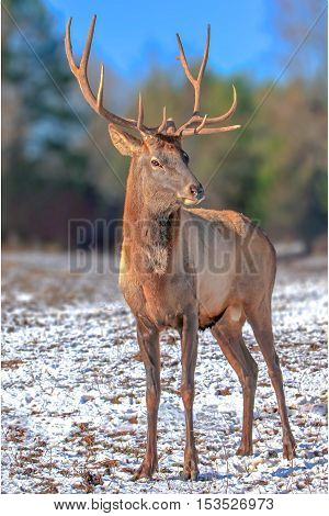 closeup handsome deer on snowy field on forest background