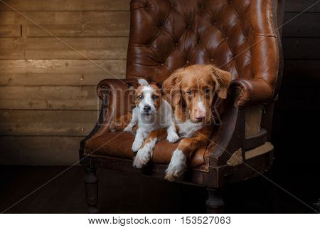 Dogs Jack Russell Terrier And Nova Scotia Duck Tolling Retriever Portrait On A Studio Color Backgrou