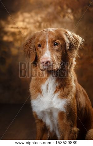 Dog Nova Scotia Duck Tolling Retriever portrait in a room on a brown background, studio , inside, pets lying on the floor