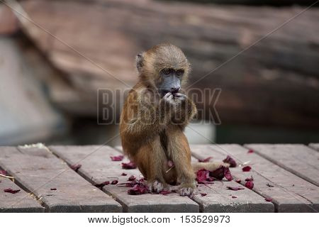 Guinea baboon (Papio papio). Wildlife animal.