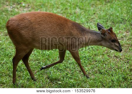Red forest duiker (Cephalophus natalensis), also known as the Natal duiker. Wildlife animal.