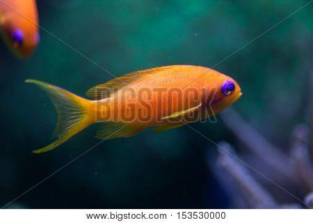 Sea goldie (Pseudanthias squamipinnis), also known as the lyretail anthias. Wildlife animal.