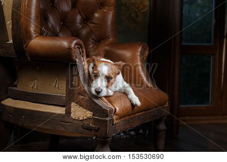 Dogs Jack Russell Terrier portrait on a studio color background pet lying on a chair