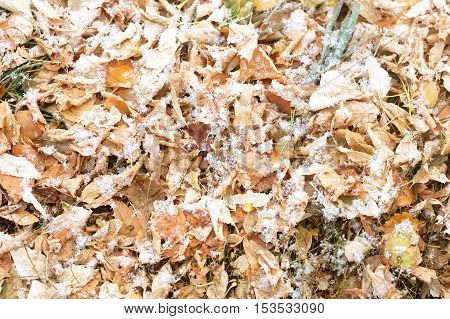 First Snow On Autumn Falling Leaves Background