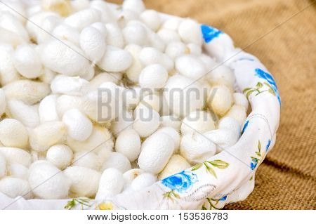 silkworm cocoon closeup traditional textile indistry production