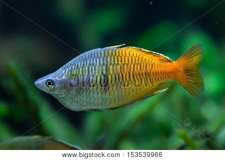 Boeseman's rainbowfish (Melanotaenia boesemani). Wildlife animal.