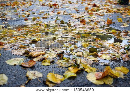Yellow autumn leaves close-up in the rain.