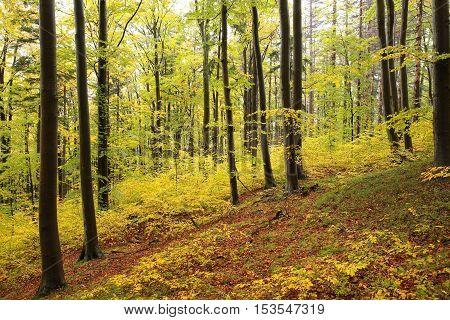 Autumn beech forest . October, Poland .