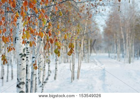 In the winter park. The branches birch with yellow leaves in the frost.