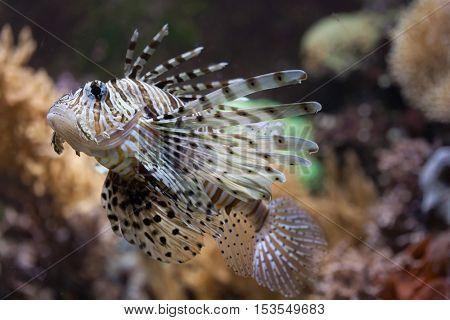 Red lionfish (Pterois volitans). Wildlife animal.