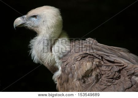 Griffon vulture (Gyps fulvus). Wildlife animal.