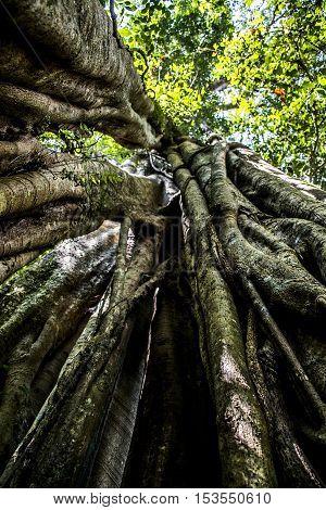Bali Indonesia Trekking benjamini tree in the Jungle near lake Tamblingan