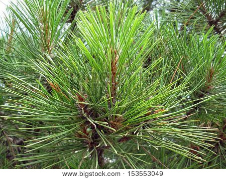 The branch of the crimean pine. Nature.