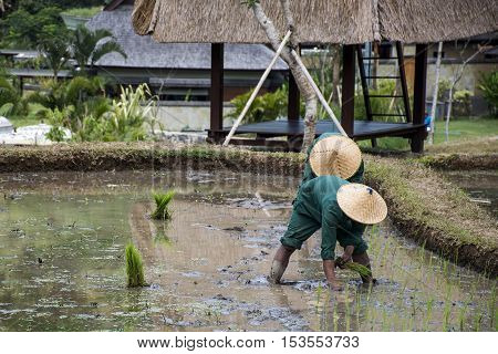 Bali Indonesia Rice Field planting in water local people