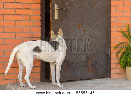 Mixed breed dog looking into half-open door in master's house
