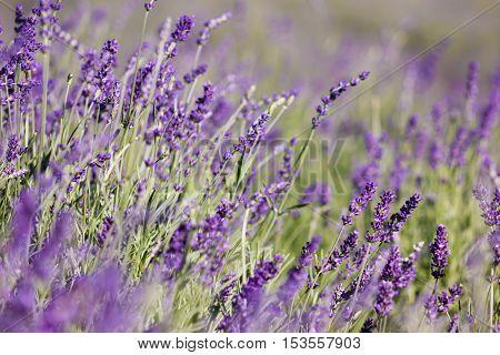 Beautiful latvian violet Lavender field in summer.