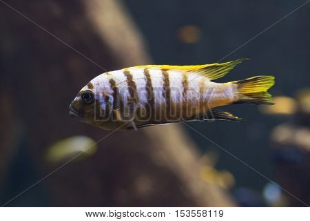 Close Up On Malawi Cichlids. Soft Focus