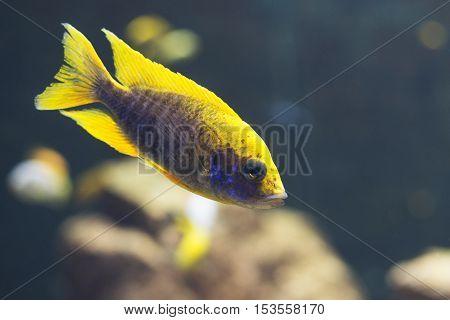 close up on Malawi cichlids. soft focus