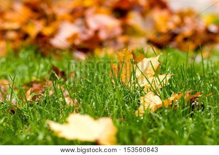 Multi-colored Maple Leaves On Green Grass