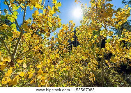 Aspen Trees And Sun