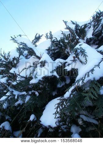 Focus on a fir full of snow