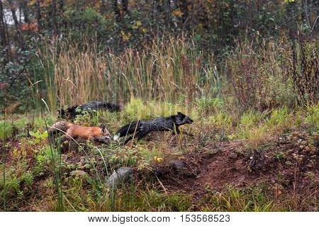Red Fox and Silver Fox (Vulpes vulpes) Chase - captive animals