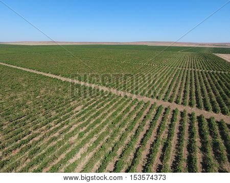 Grape Orchards Bird's-eye View. Vine Rows. Top View Of The Garden