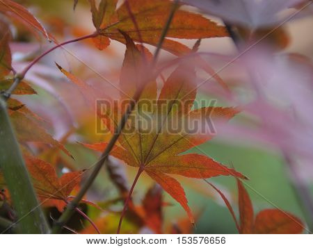 Colorful abstract background of flora - by using of autumn images of leaves of plant Japanese maple