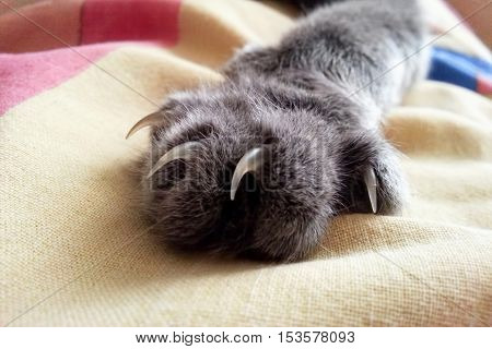 paw with claws gray cat on the fabric