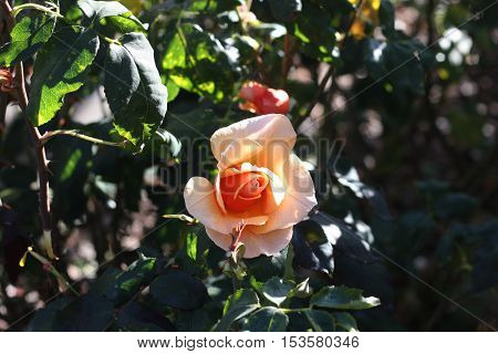 This is an image of a fresh new rose taken in a Carmel, California on a late October afternoon.