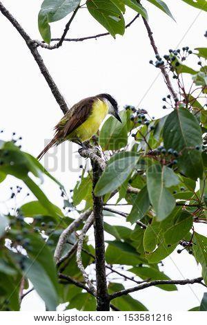 Great Kiskadee In Costa Rica