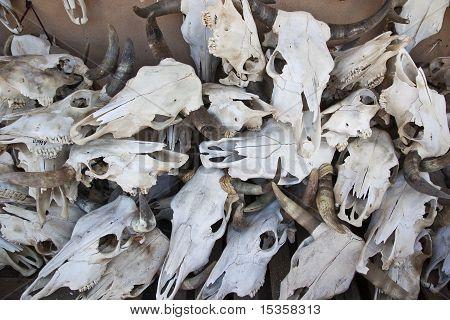 Cattle Skulls
