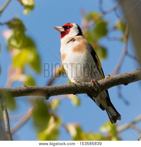 Goldfinch perched on branch in local park