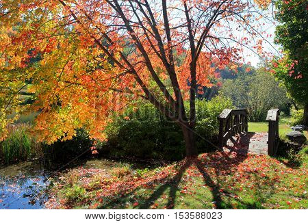 Maple tree by the river in autumn time