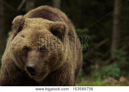 Big brown bear close-up in the forest