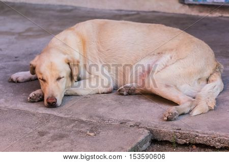 Thai white stray dog sleeping , pet