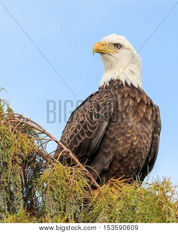 An american bald eagle sitting in a tree hunting